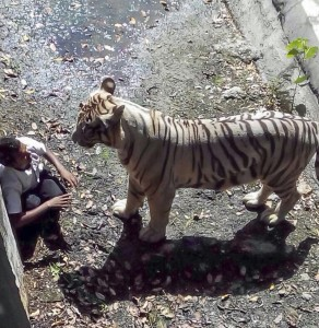White Tiger Kills Man Who Climbed Into Enclosure At Indian Zoo