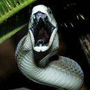 【怖い生物】ブラックマンバとかいう蛇・・・怖すぎる